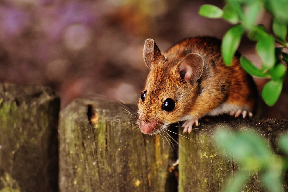 Mouse Pest Control Coleshill.jpg