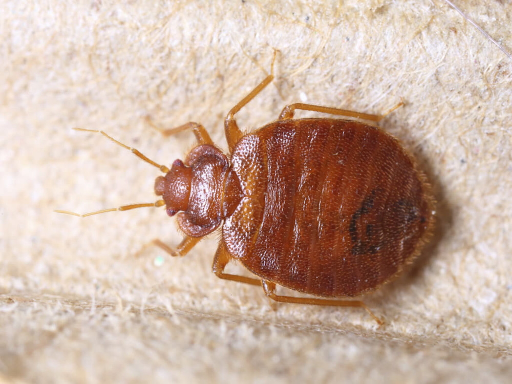 Bed Bugs Pest Control Warwickshire.jpg