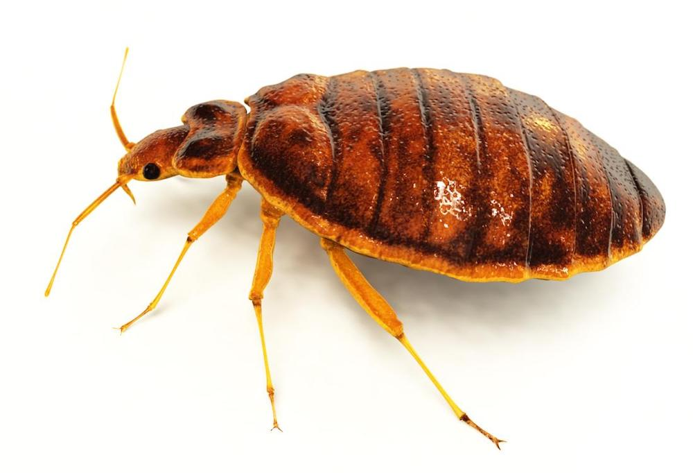 Bed Bugs Pest Control Services Water Orton.jpg