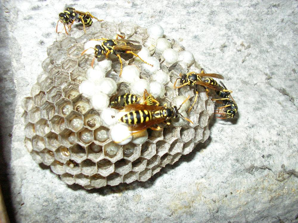 Wasp Pest Control Services Warwickshire.jpg