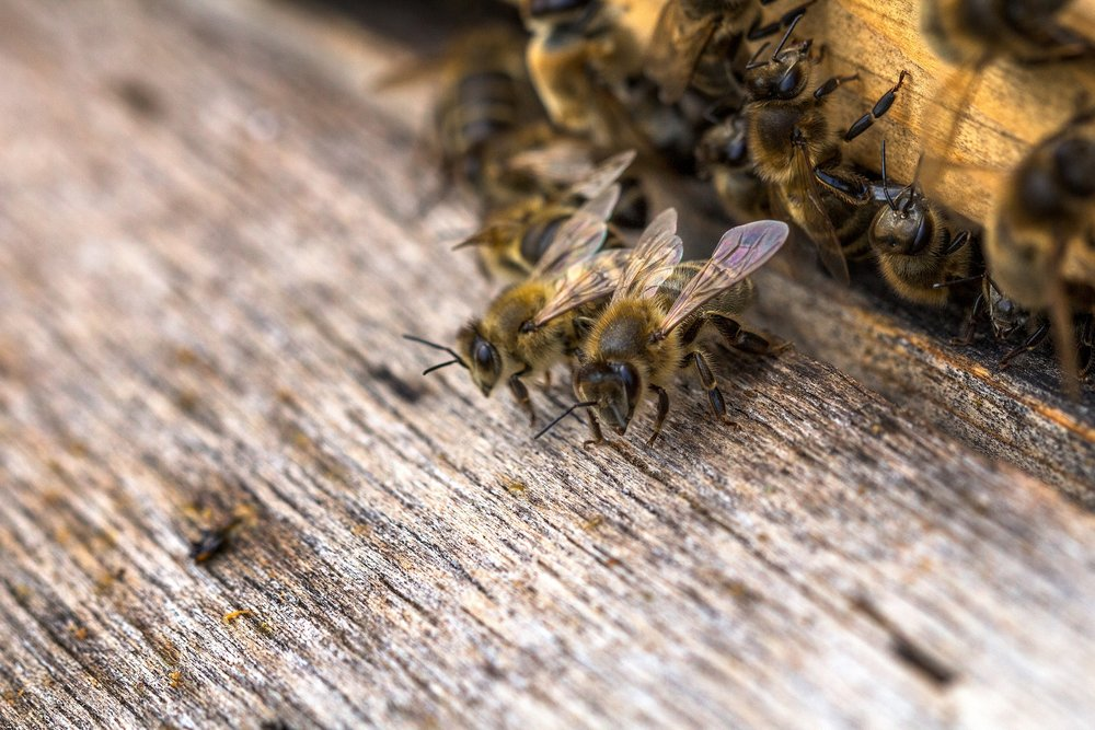 Bee Pest Control Services Nuneaton.jpg