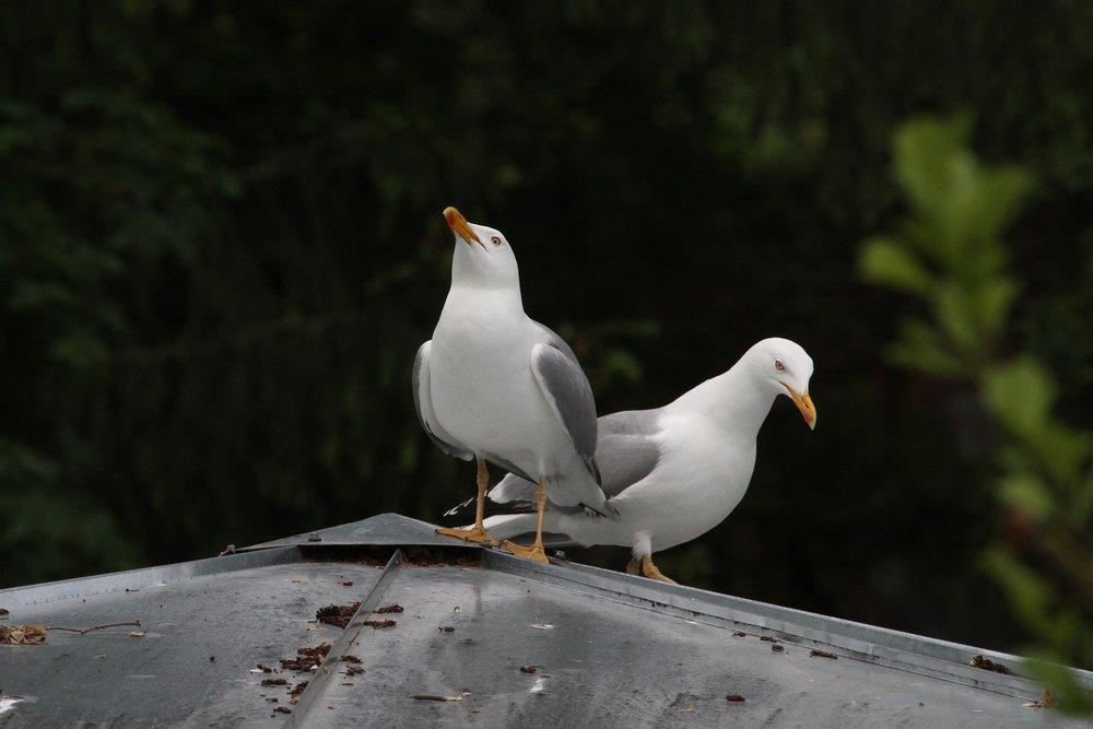 Seagull Pest Control Water Orton.jpg