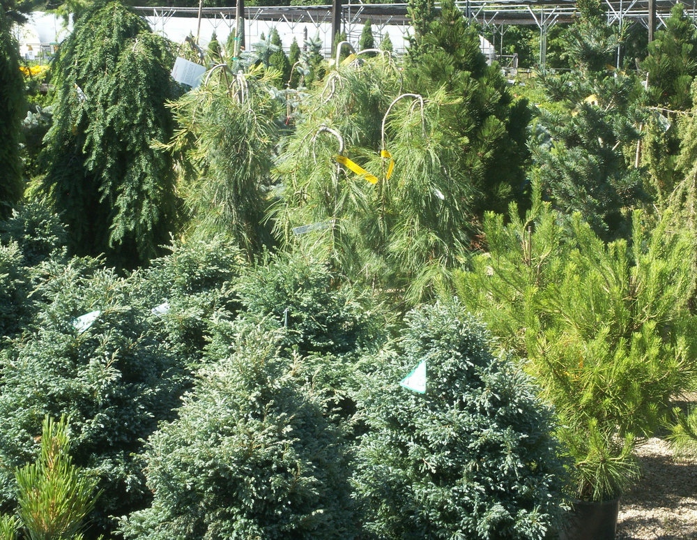 We have a large selection of evergreens.
