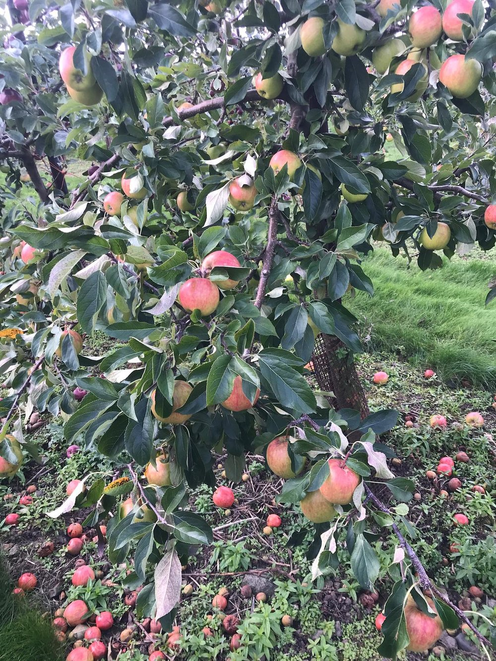 From the tree to our breakfast compote…