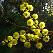 The Golden Wattle