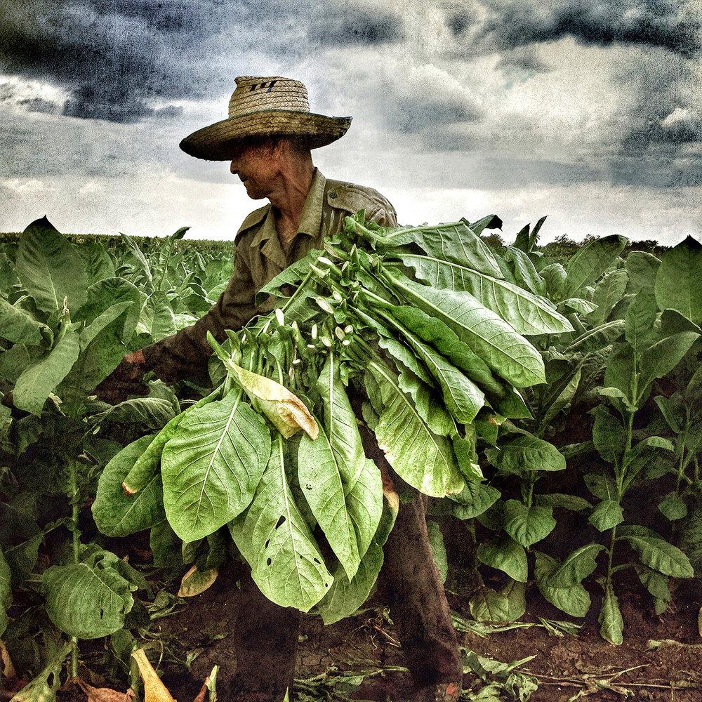 Cuba_tobacco_farmer_LR.jpg