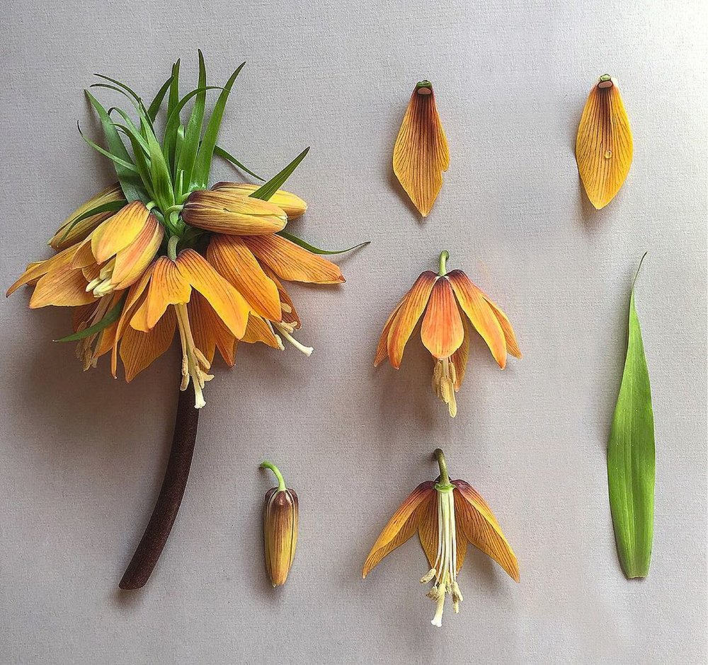 Crown Imperial. Fritillaria imperialis London 2015__preview.jpeg