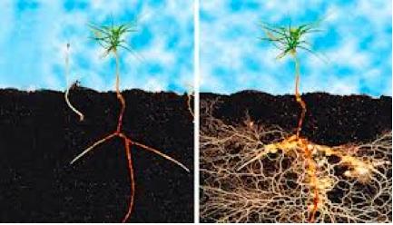 mycorrhizae.jpg
