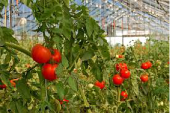 Wight Salads tomatoes