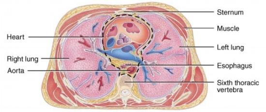 Heart AP crossection