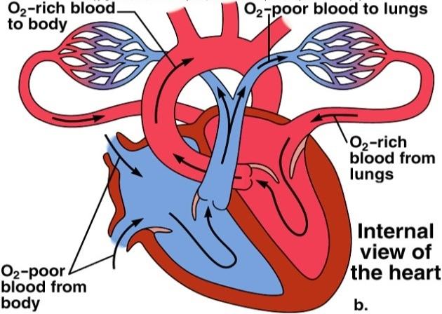 blood circ1.jpg