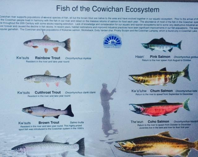 cowichan fish.jpg