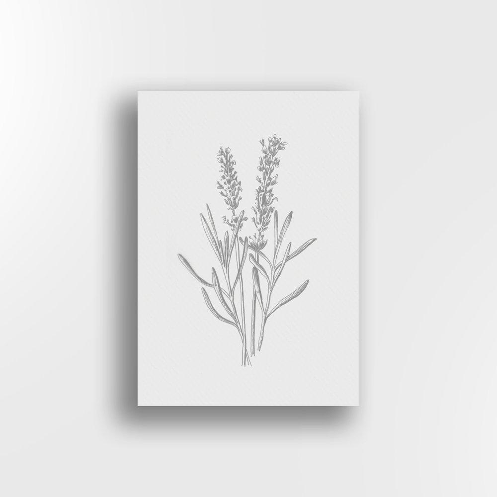 Lavender Sketch