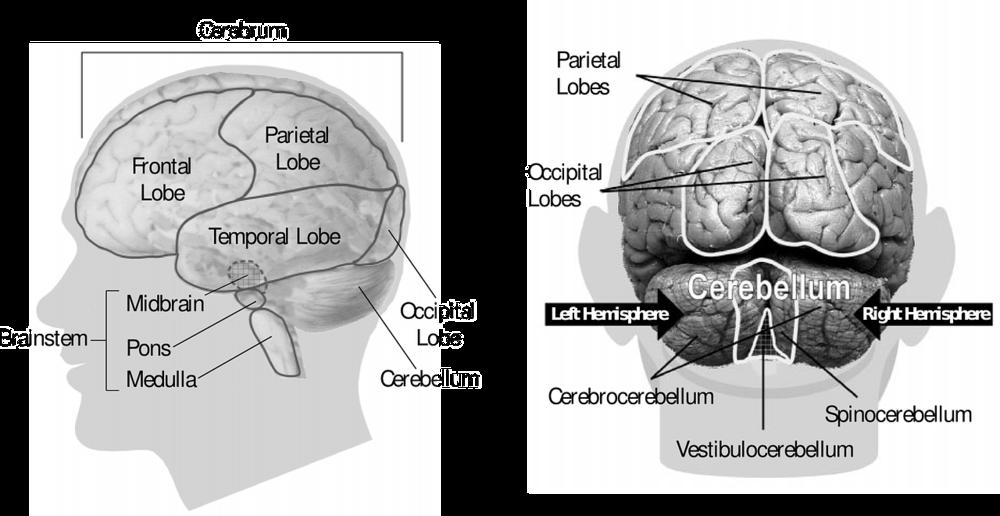 brain-148131_1280.png