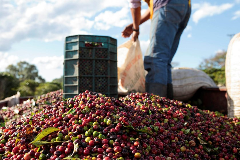 workers_dump_harvested_coffee_cherries_in_a_truck_at_a_plantation_in_the_minas_gerais_state_near_guaxupe_SKCS.jpg