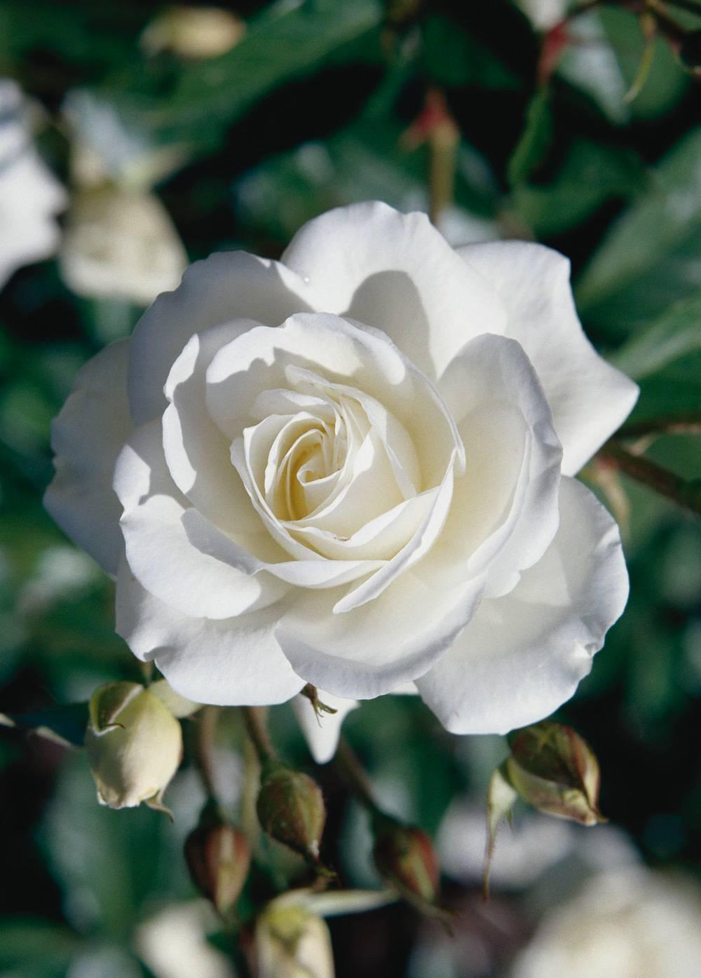 Rose_weiss-cms.jpg