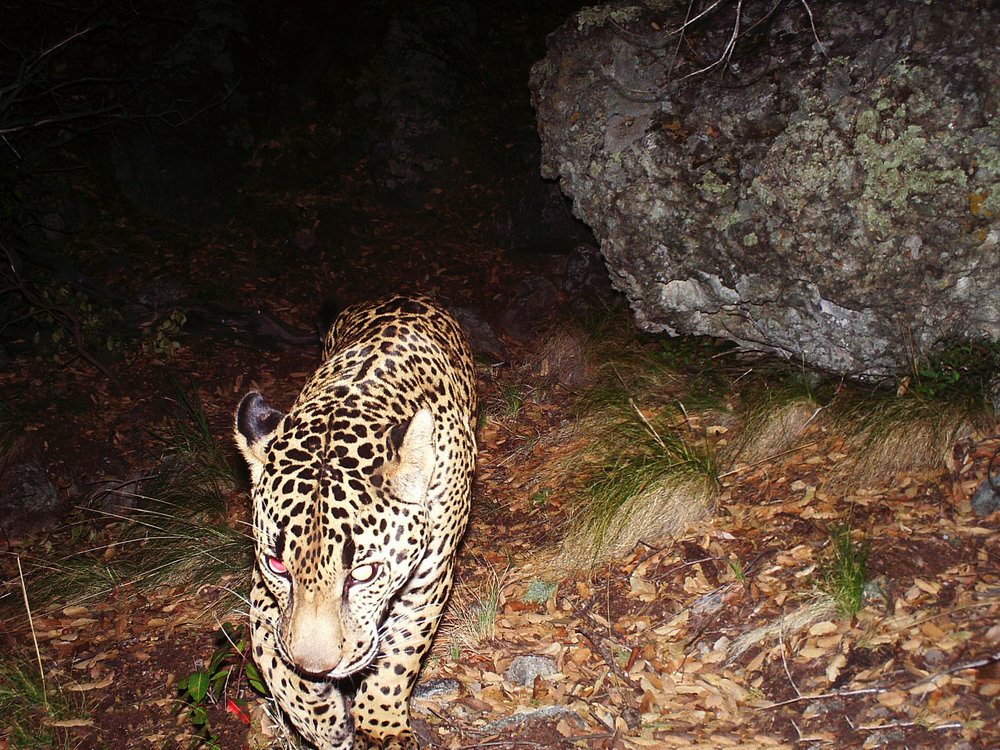 A large male jaguar known as El Jefe, camera trapped in the Santa Rita Mountains south of Tucson.  Photo courtesy of the  Center for Biological Diversity .