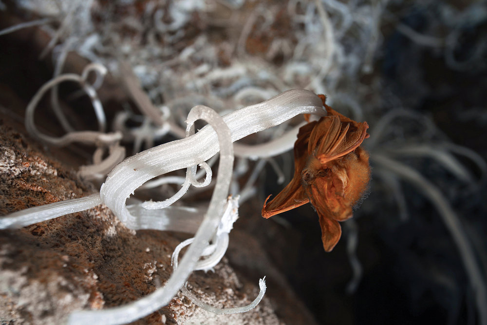 A mummified bat clings to a gypsum flower.  Photo by Stephen Eginoire