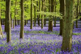"""Inspired by… - Our 'The Hertfordshire' candles & reed diffusers are beautifully scented with Woodland Bluebell and Jasmine, inspired by the abundance of beautiful bluebells on Ashridge Estate.'A rich floral accord of bluebells and hyacinth enhanced with notes of galbanum, rose and jasmine.'If you've ever visited the astounding Ashridge Estate in the Spring you'll understand exactly where our inspiration came from - according to the National Trust """"Ashridge is one of the most popular places in the country for seeing bluebells, with thousands of people coming from far and wide to enjoy the spectacular carpets of flowers each spring."""""""