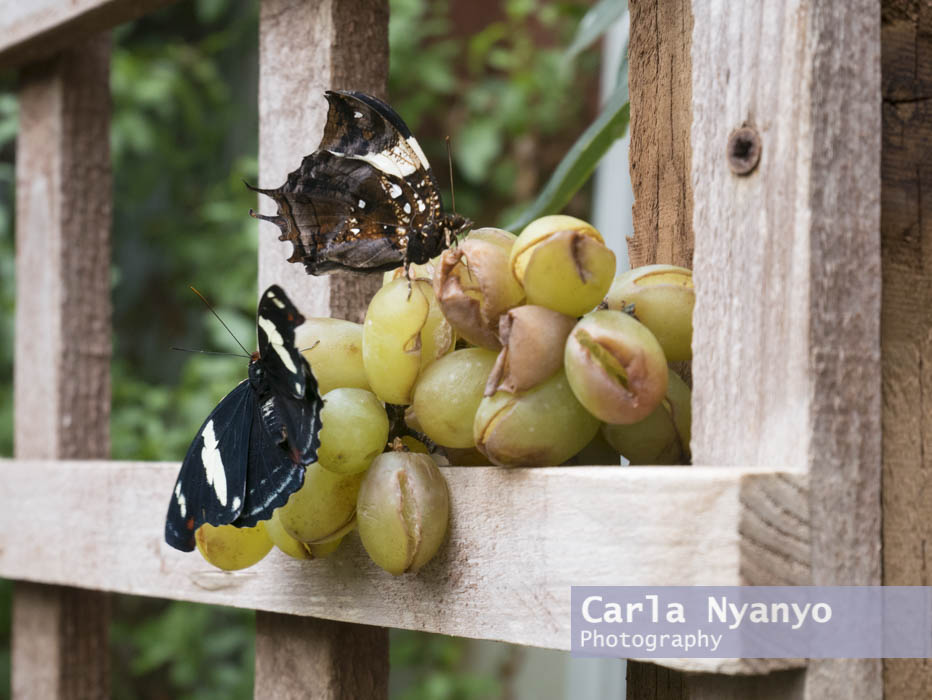 stratford_butterfly_farm_2017-4.jpg