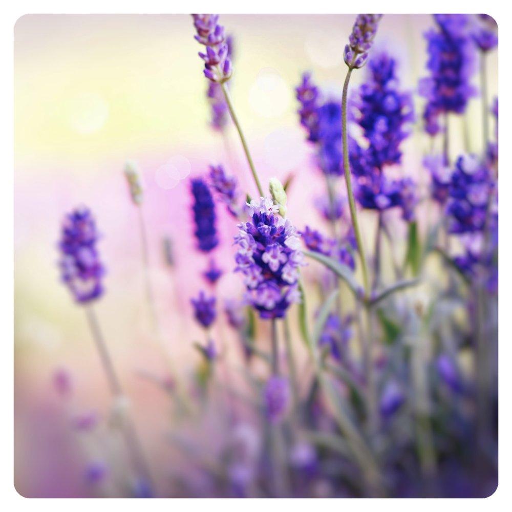 lavendar_Fotor.jpg