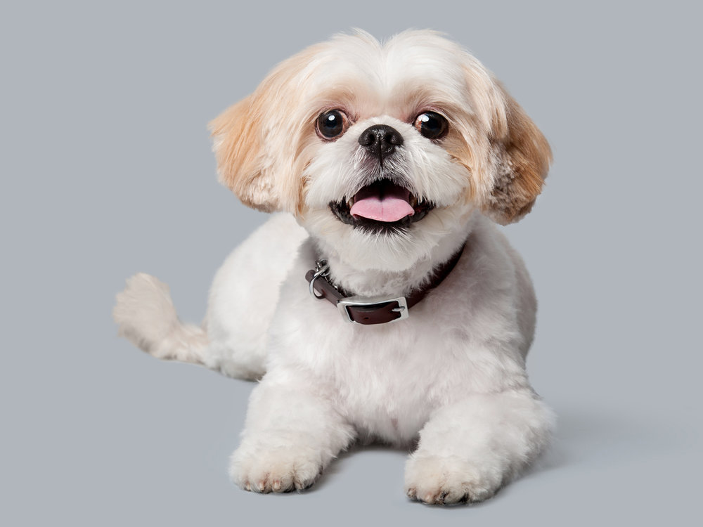 Paola-Paladini-Studio-Maltese-Dog-Gray-Background