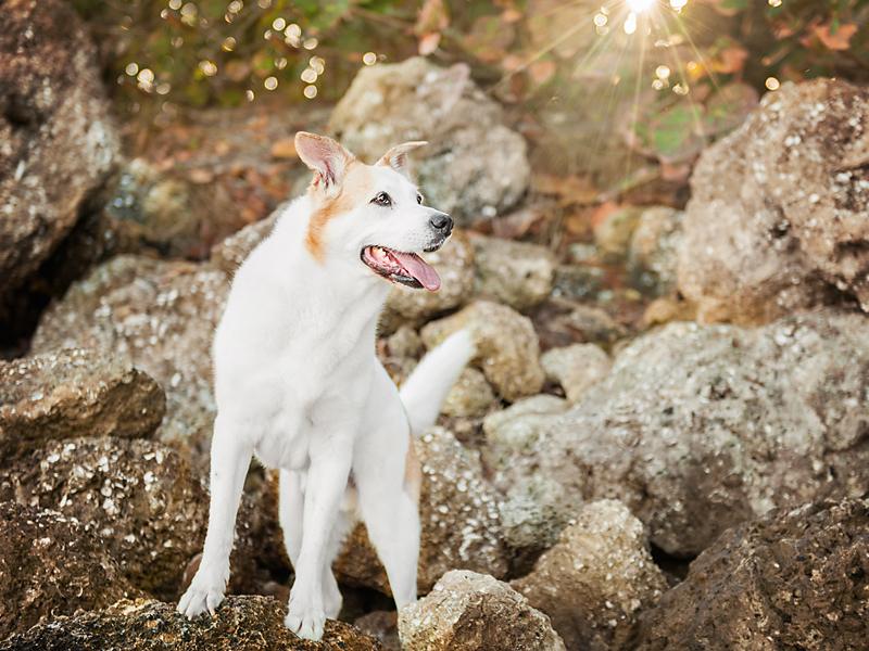 Paola-Paladini-On-Location-white-shepherd-sunny-backlit
