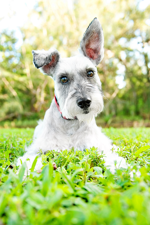 Paola-Paladini-On-Location-white-schnauzer-park