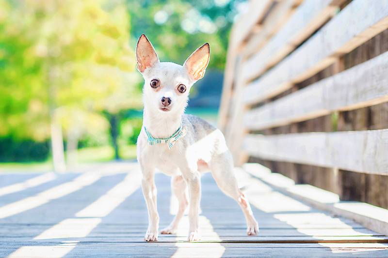 Paola-Paladini-On-Location-white-chihuahua-posing