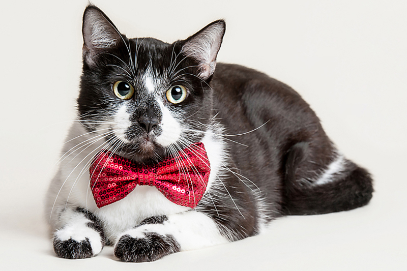 Paola-Paladini-Studio-Cat-with-bowtie