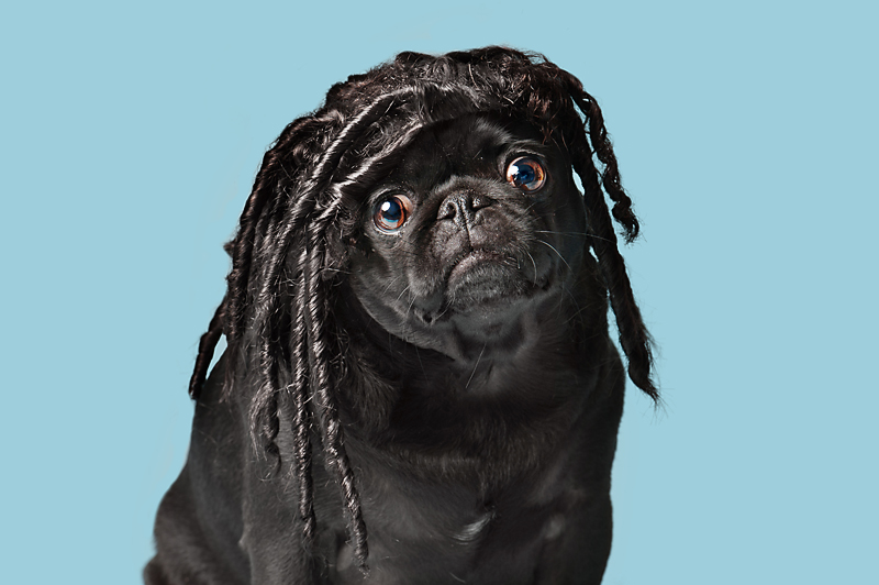 dog-and-wig-black-pug-Dreadlocks-Wig-gles-.jpg