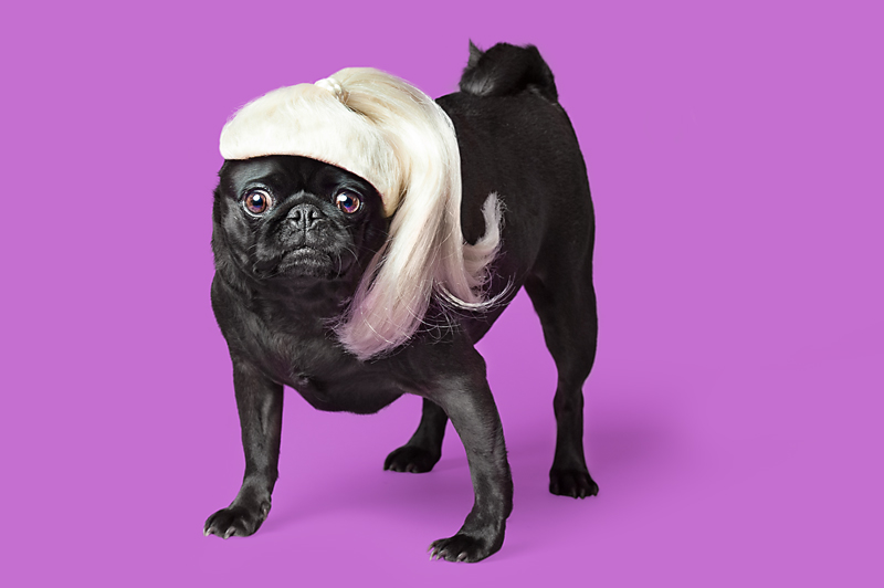 Wig-gles-dog-and-wig-black-pug.jpg