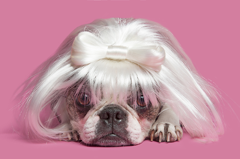 Wig-gles-dog-and-wig-boston-terrier.jpg