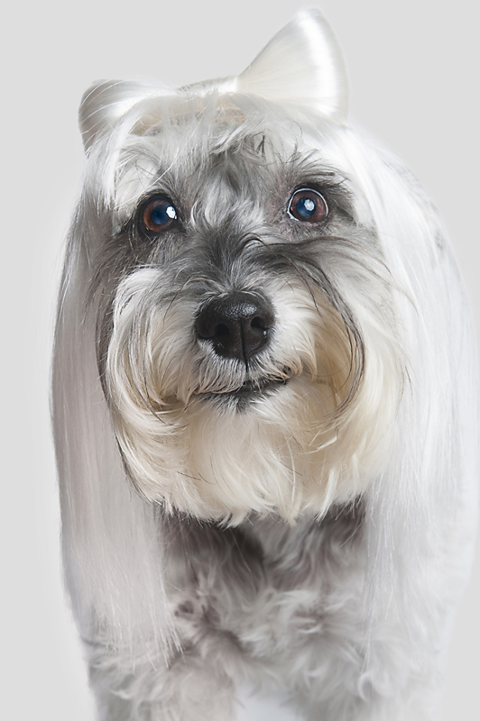 Wig-gles-dog-and-wig-schnauzer.jpg