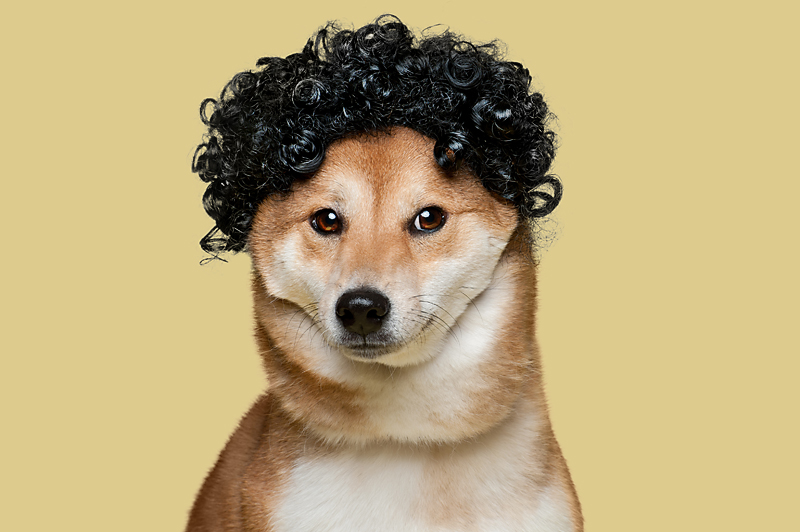 Wig-gles-dog-and-wig-shibainu-dog.jpg