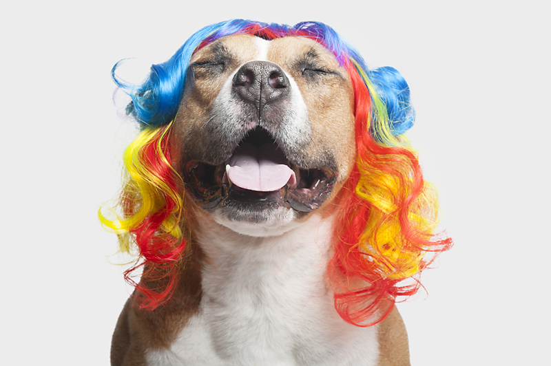 dog-and-wig-happy-pitbull-Wig-gles-.jpg