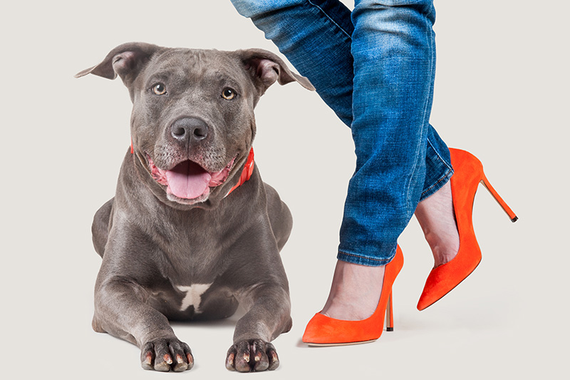 Paola-Paladini-Hounds-and-Heels-pitbull-grey.jpg