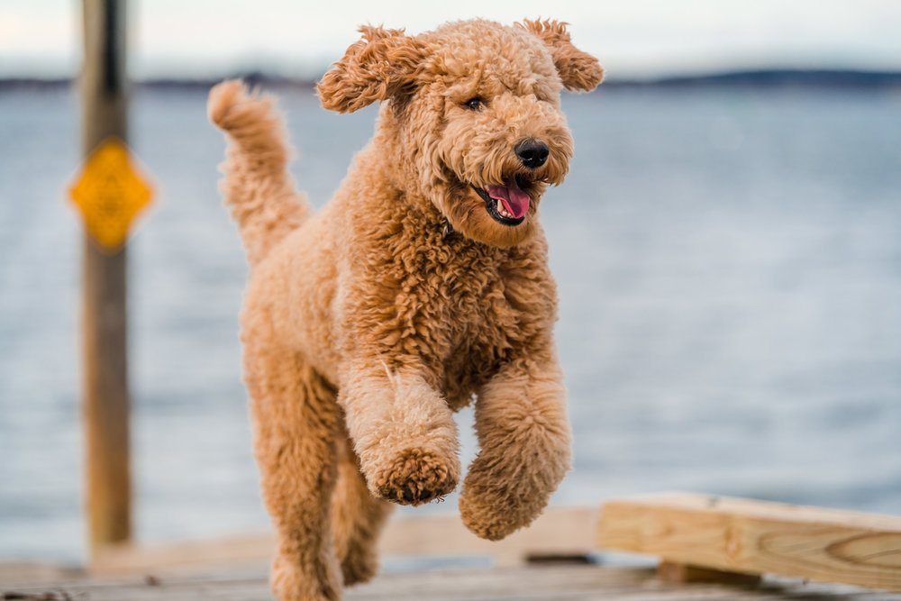 Maine dog photography | Labradoodle in Portland