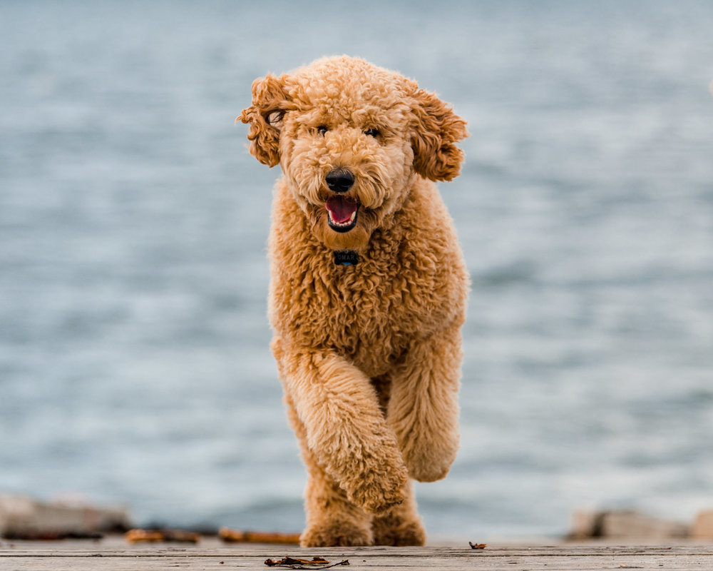 Wag Studios | Maine Labradoodle photography