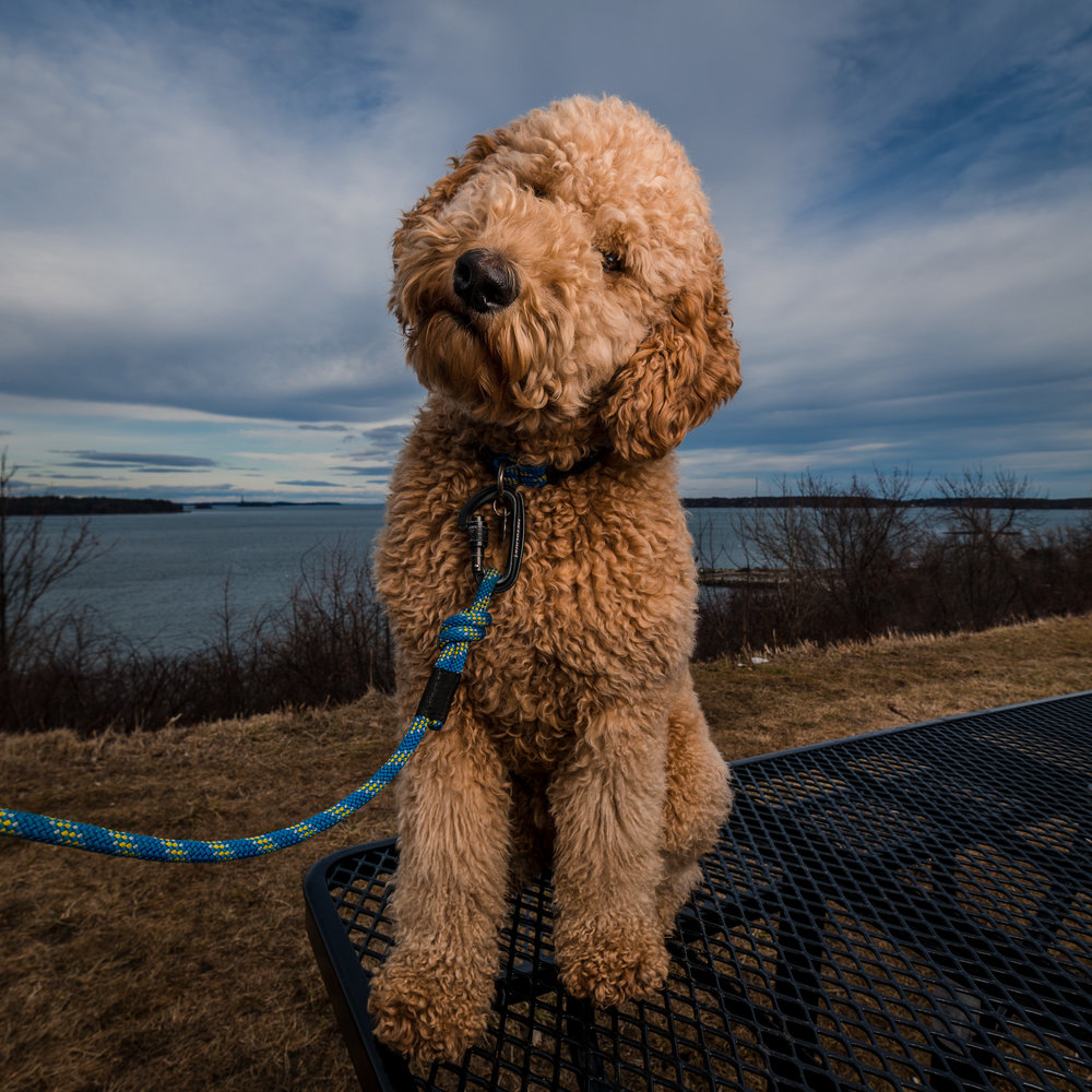 Maine Pet Photography | Goldendoodle
