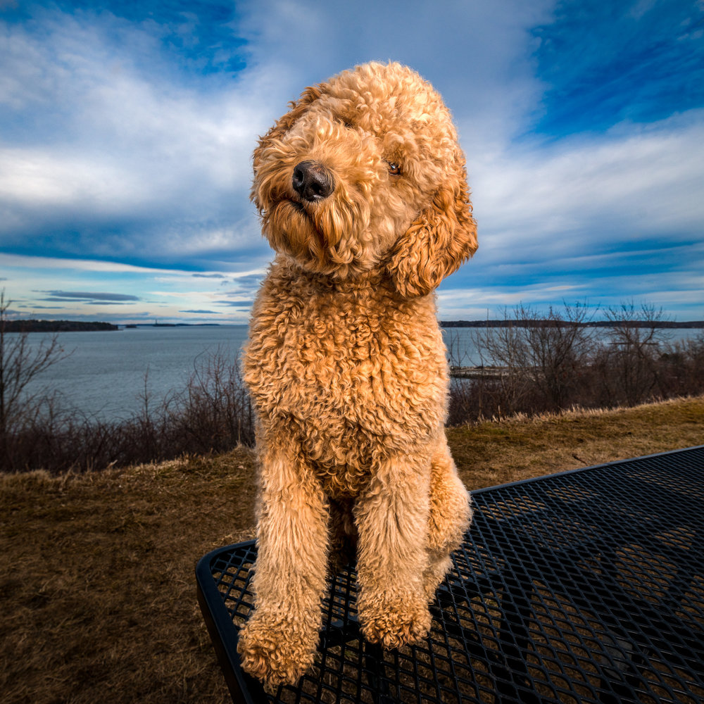 Portland Pet Photography | Goldendoodle