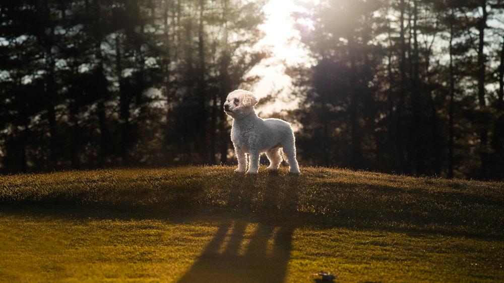 Maine Pet Photography | Lhasa Apso