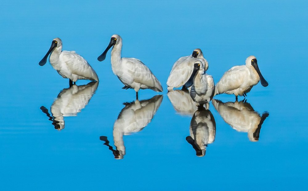 Reflecting Spoonbills