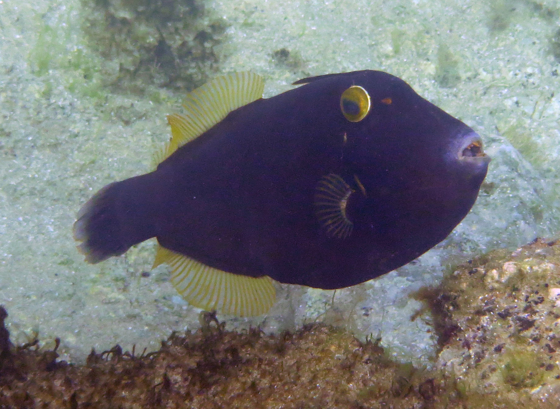 Black Reef Leatherjacket (Eubalichthys bucephalus)  spotted by Danie Ondinae  Photo Robyn Wimbush