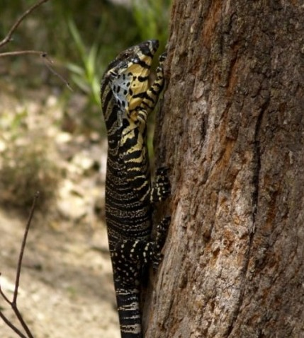Lace Monitor                                        Photo John Van Der Heul