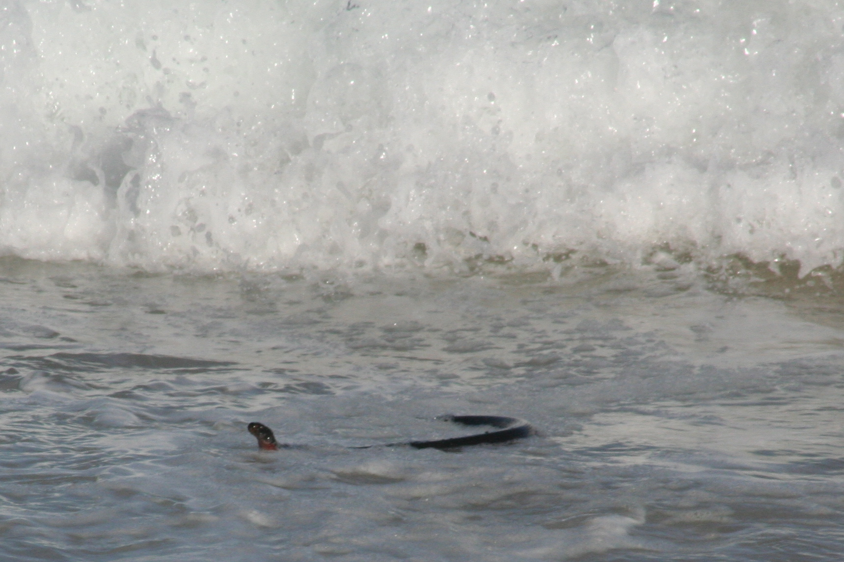 Surfing Red Bellied Black Snake