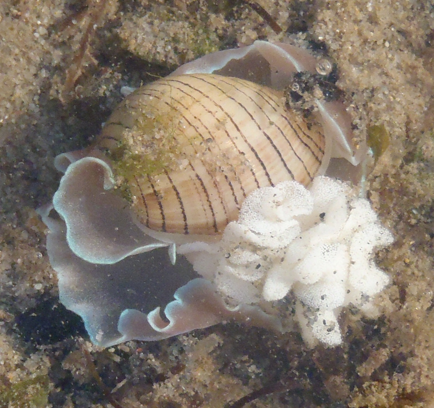 bubble shell (Hydatina) with egg mass