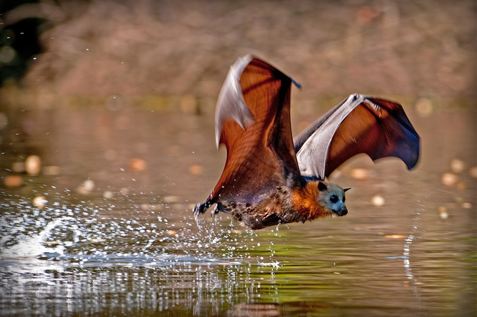 Flying foxes often seek heat relief by wetting their fronts