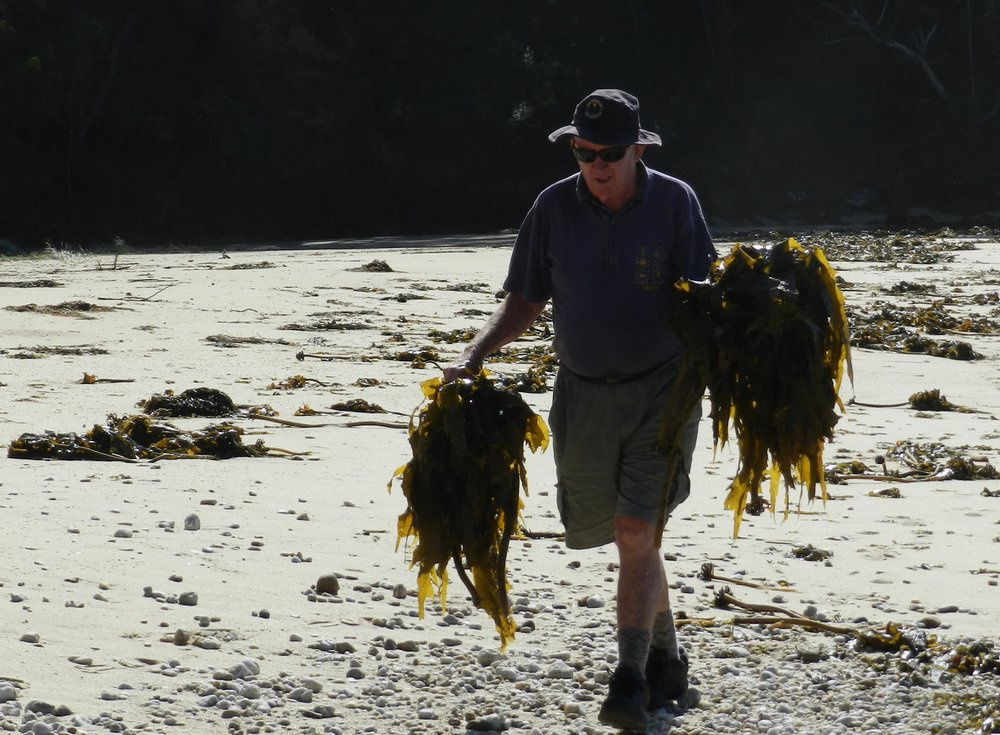 Collecting-seaweed-on-our-beaches.jpg