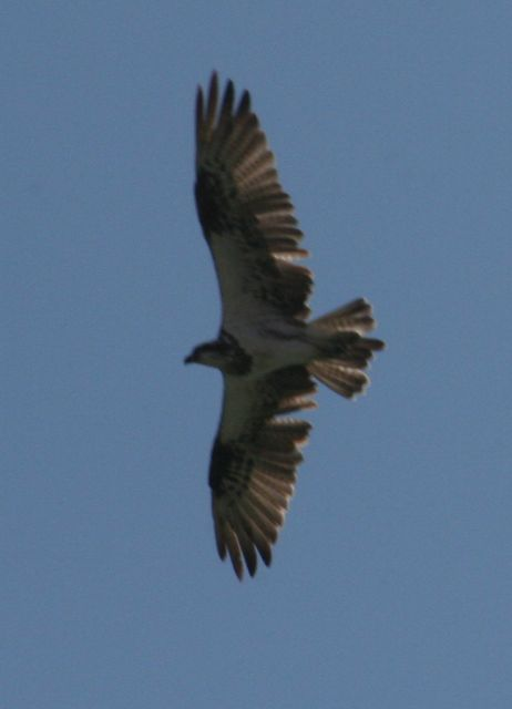 Osprey-11.jpg